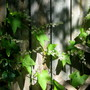 Wild cucumber vine on my fence!