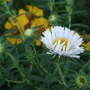 White_asters_on_their_way_a