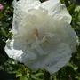 Hibiscus_syriacus_white_chiffon_a