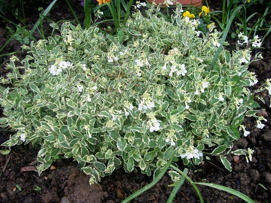 Rock Cress - loads of flowers (Arabis alpina 'varigata' (Alpine Rock-cress))