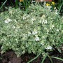 Rock Cress - loads of flowers (Arabis alpina 'varigata' (Alpine Rock-cress))