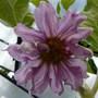 AUBERGINE PLANT - FLOWER