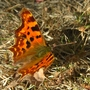 Butterfly_in_our_garden_today_280809