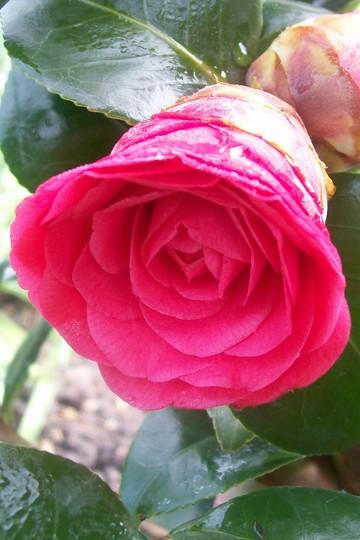 7_4_5.jpg (Camellia japonica (Camellia))