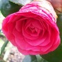Camellia japonica
