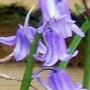 7_4_10.jpg (Hyacinthoides non-scripta)