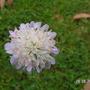 Knautia arvensis (Knautia arvensis (field scabious)