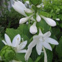 Hosta Plantaginea (Hosta plantaginea (Fragrant Plaintain Lily))