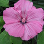 Rose Mallow (Lavatera trimestris (Mallow))