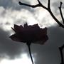 Rose_silhouette.jpg
