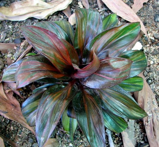Cordyline fruticosa 'Chocolate Swirl'  - for David (Cordyline fruticosa 'Chocalate Swirl')