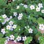 Bacopa (Bacopa monnieri (Thyme leaved Gratiola))