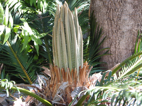 Cycas revoluta - with a lovely new flush of leaves. (Cycas revoluta)