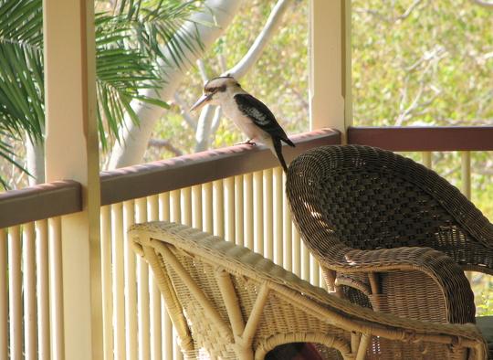 Verandah visitor - it's the latest in verandah ornaments!  Dacelo novaeguineae.