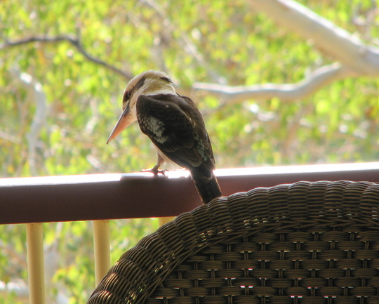 Verandah visitor - the Laughing Kookaburra.
