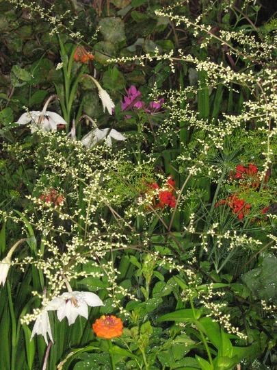 A garden flower photo (Acidanthera murieliae)