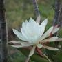 Night Flowering Cacti