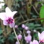 Cyclamen (C. coum)