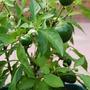 Chillies - Pepproni