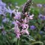 Stachys officinalis 'Rosea' (Stachys officinalis (Bathenien))