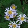 Pale_mauve_asters