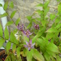 Toad Lilly (Tricyrtis formosana (Toad Lily))
