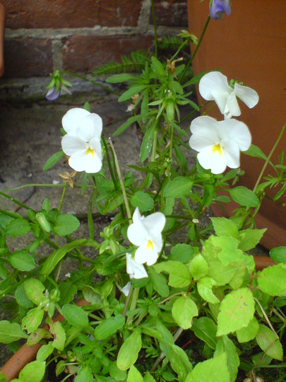 Self seeded Viola (Viola canina (Dog Violet))