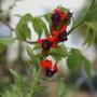 Firecracker (Cuphea llavea)