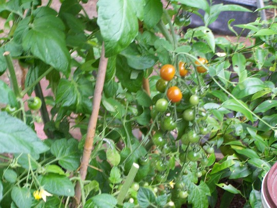 Cherry Tomatoes 2009 South Greenhouse.jpg