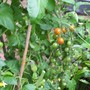 Cherry Tomatoes 2009 South Greenhouse.jpg