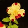 Monkey musk...sweethearts (Mimulus guttatus (Common Large Monkey Flower))
