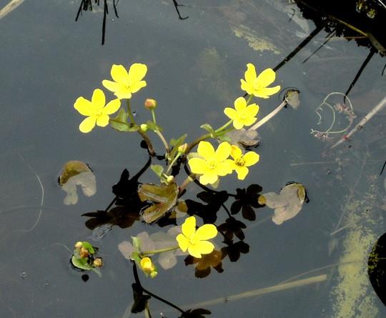 Water fringe (Nymphoides peltata)