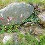 Bottle Brush & Dead Nettle. Late July '09 (Bistorta)