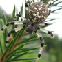 See the cross on this spiders abdomen!!  what a lovely creature!