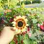 Sunflower_on_balcony_2004_001