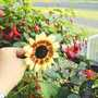 Sunflower_on_balcony_2004_002