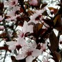 Prunus Spinosa (Prunus spinosa Purpurea)