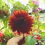 Sunflower_on_balcony_2004_003