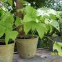 Planters_yellow