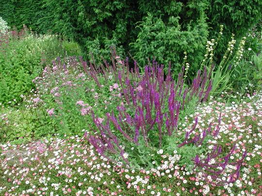 top flower bed (Erigeron karvinskianus)