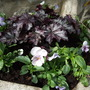 Heuchera_blackberry_jam_and_pansies_in_pot