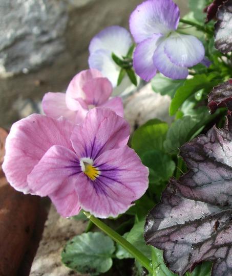 Pale pink Pansy and Heuchera leaf. (Heuchera)