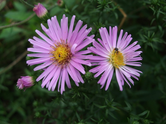 Pink Asters (Aster)