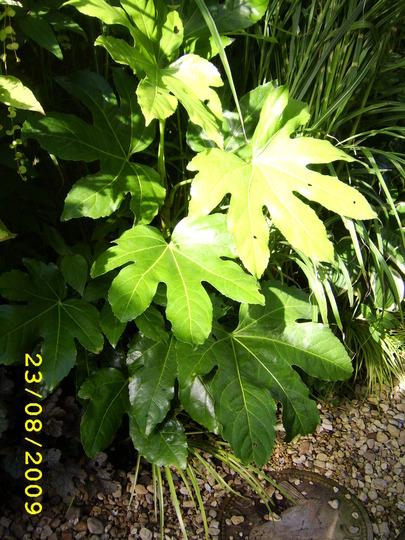 Castor Oil Plant (Fatsia japonica (Japanese aralia))