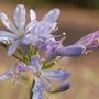 Agapanthus 'Gayles Lilac' (Agapanthus)