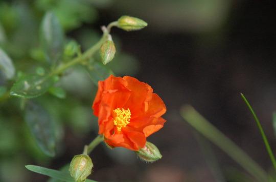 Helianthemum 'Ben Mohr' (Helianthemum nummularium (Common Rockrose))