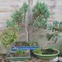 more bonsai