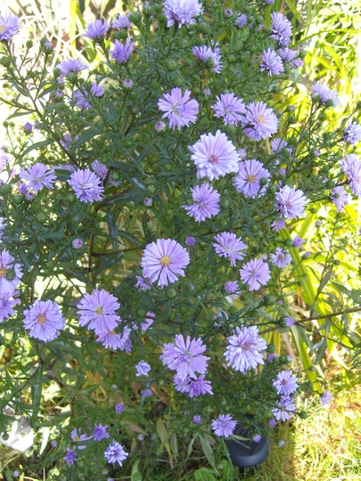 Asters........