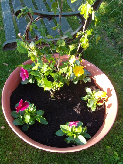 Hibiscus and pansies