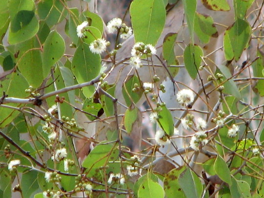 It's the first day of Spring downunder - Sept 1st - and the gums have started to flower.